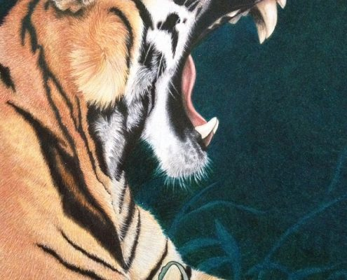 Coloured pencil drawing of a Tiger - by Jane Liddle