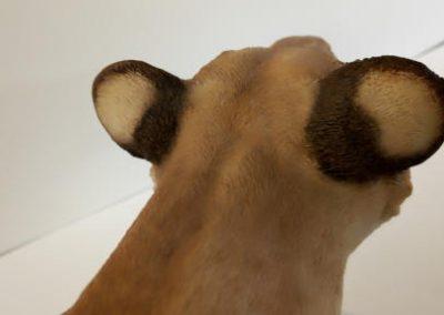 Lioness ears repair